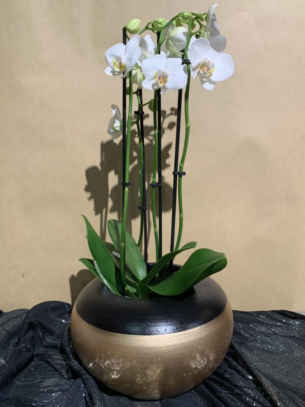 orchidee grote pot